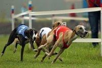 Ставки на собачьи бега: специфика, анализ, стратегии